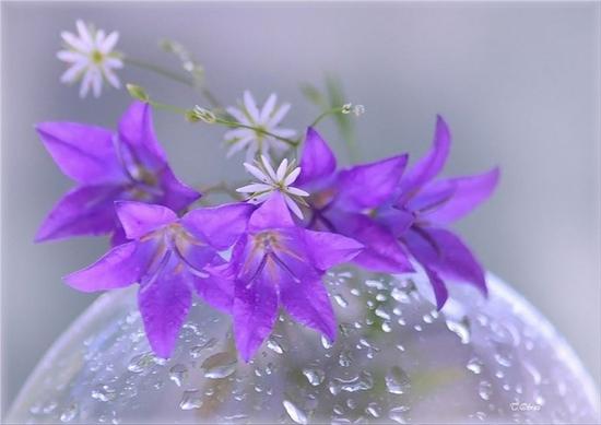нежные цветы (550x389, 123Kb)