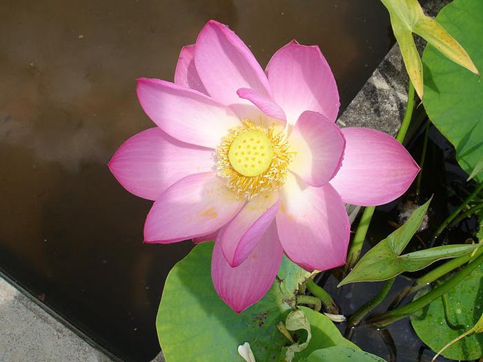 Есть в графском парке тихий пруд..... Там лилии цветут . .Ботанический сад Latour - Marliac. 90175