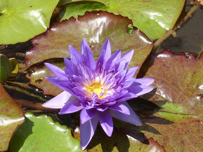 Есть в графском парке тихий пруд..... Там лилии цветут . .Ботанический сад Latour - Marliac. 11029