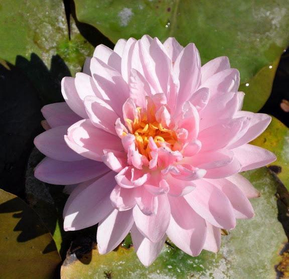 Есть в графском парке тихий пруд..... Там лилии цветут . .Ботанический сад Latour - Marliac. 90245