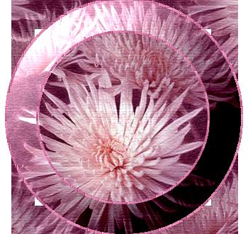 хризантемы (350x330, 226Kb)