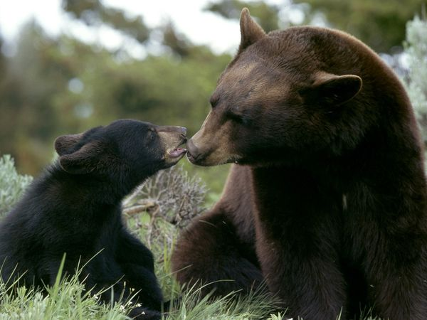 black-bear_233_600x450 (600x450, 42Kb)