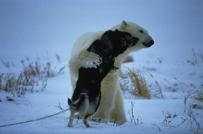 Итак, те самые трогательные фото северного медведя... играющего с...