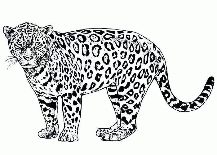 Awesome Baby Jaguar Printable Coloring Pages With Ocelot Page
