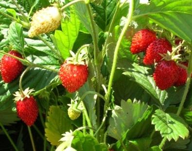 strawberry7.jpeg 555555 (395x310, 74Kb)