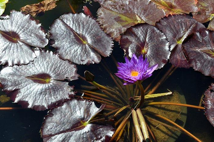 Есть в графском парке тихий пруд..... Там лилии цветут . .Ботанический сад Latour - Marliac. 66008