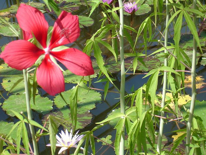 Есть в графском парке тихий пруд..... Там лилии цветут . .Ботанический сад Latour - Marliac. 64003