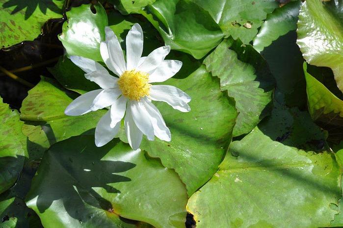 Есть в графском парке тихий пруд..... Там лилии цветут . .Ботанический сад Latour - Marliac. 71342
