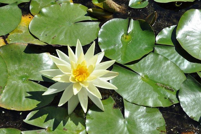 Есть в графском парке тихий пруд..... Там лилии цветут . .Ботанический сад Latour - Marliac. 86749