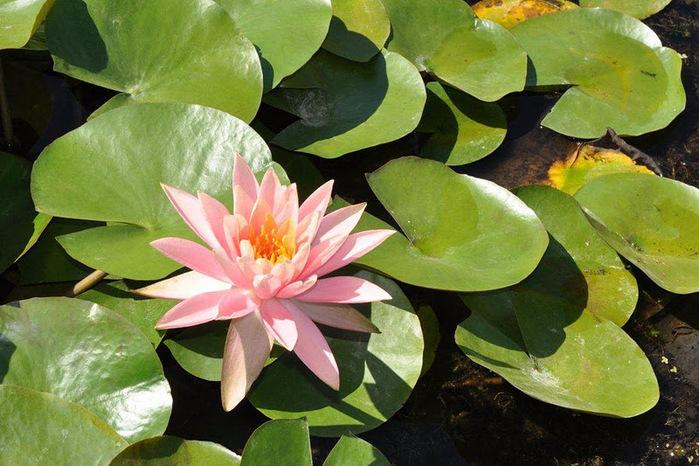 Есть в графском парке тихий пруд..... Там лилии цветут . .Ботанический сад Latour - Marliac. 64566