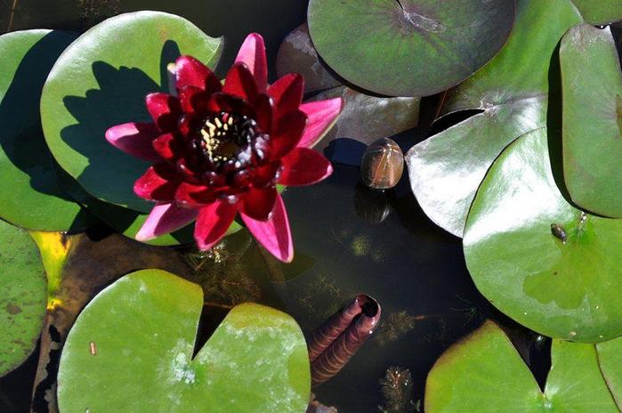 Есть в графском парке тихий пруд..... Там лилии цветут . .Ботанический сад Latour - Marliac. 54341