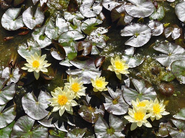 Есть в графском парке тихий пруд..... Там лилии цветут . .Ботанический сад Latour - Marliac. 53023