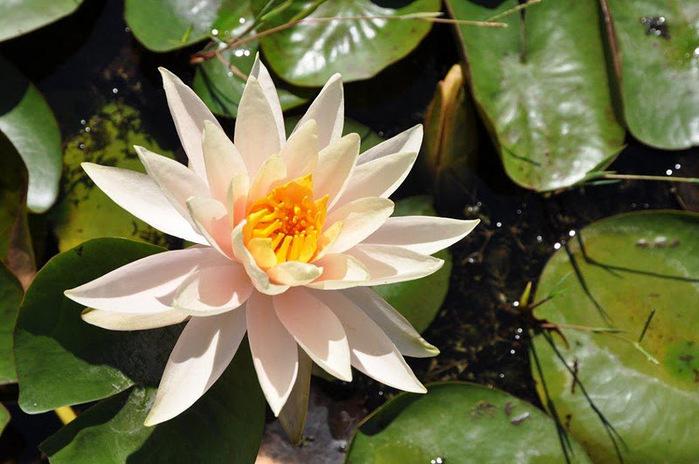 Есть в графском парке тихий пруд..... Там лилии цветут . .Ботанический сад Latour - Marliac. 67481