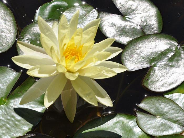 Есть в графском парке тихий пруд..... Там лилии цветут . .Ботанический сад Latour - Marliac. 13113