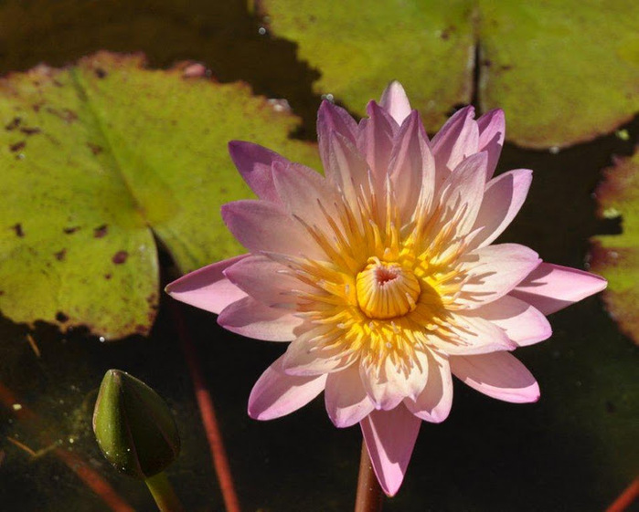 Есть в графском парке тихий пруд..... Там лилии цветут . .Ботанический сад Latour - Marliac. 93182