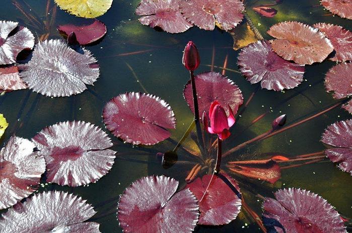 Есть в графском парке тихий пруд..... Там лилии цветут . .Ботанический сад Latour - Marliac. 50751