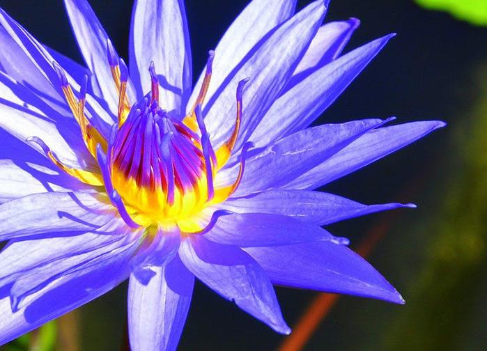 Есть в графском парке тихий пруд..... Там лилии цветут . .Ботанический сад Latour - Marliac. 26818