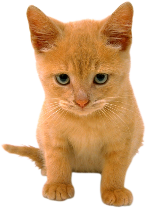 orange_tabby_690 (492x700, 411Kb)