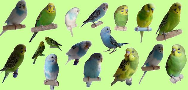 волнистые попугайчики1 (632x304, 42Kb)