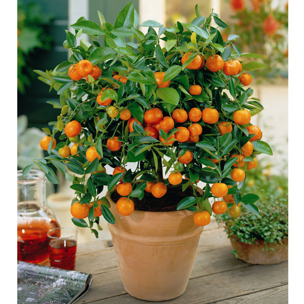 Апельсины уход в домашних условиях