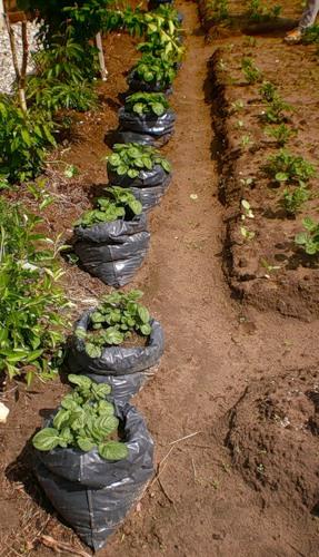 Выращивают картофель и в