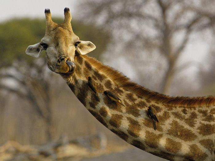 Image_0029.Nosey_Giraffe (700x525, 361Kb)