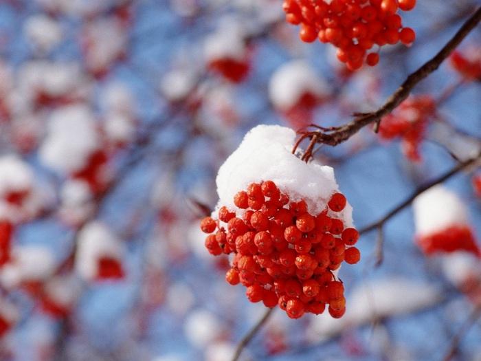 Рябина вообще красивое дерево.  И листья у неё резные и цветёт душистыми шапками... и птиц кормит зимой своими...