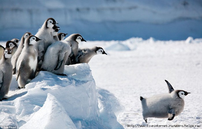I-can-fly-P-p-pic-of-a-penguin-chick-leaping-off-ice-block-in-amazing-1 (700x448, 137Kb)