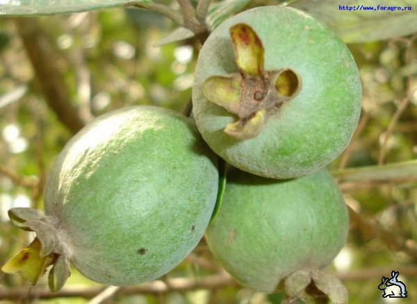 4276504_1258198128_fruit_feijoa_3_h_orig (600x438, 49Kb)