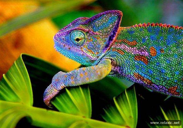 0024-Chameleon_001 (640x446, 71Kb)