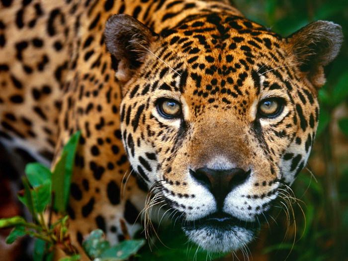 леопард (700x525, 127Kb)