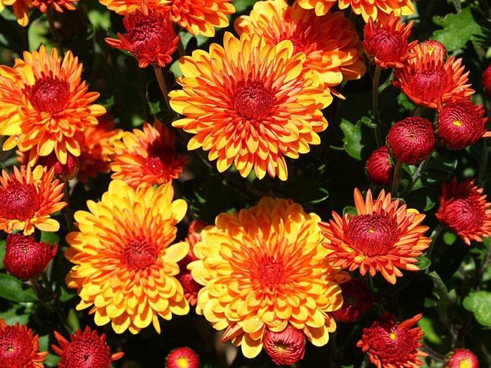79032581_4216969_Chrysanthemum01 (700x525, 184Kb)