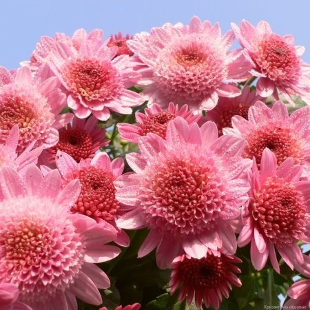 1316659165_48414960_chrysanthemum1 (450x450, 61Kb)