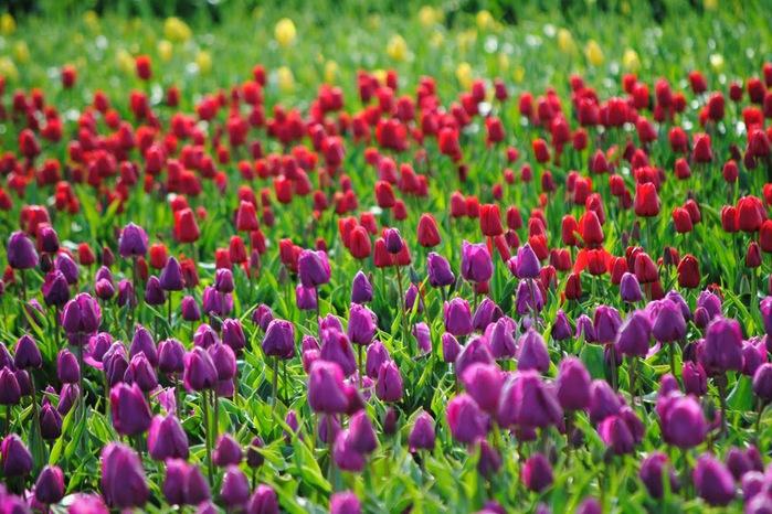 симфония тюльпанов 49497