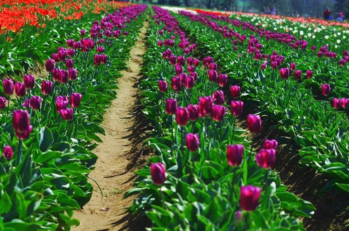 симфония тюльпанов 55239