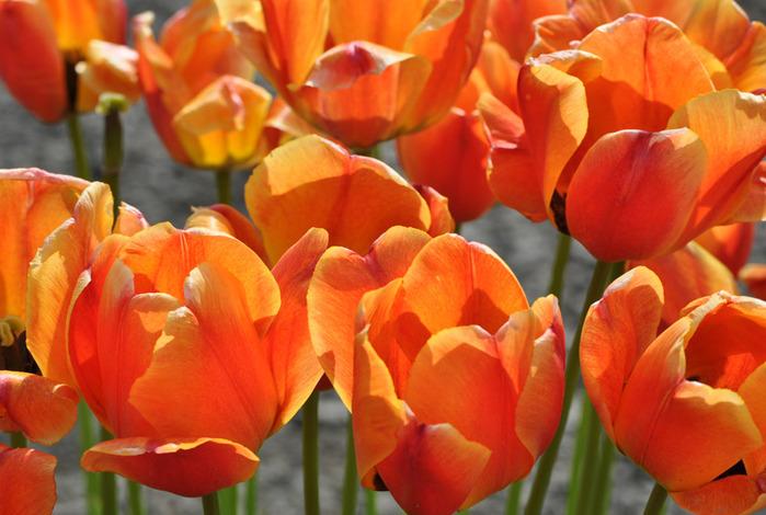 симфония тюльпанов 91876