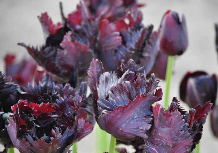 симфония тюльпанов 44604