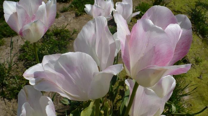 симфония тюльпанов 97852