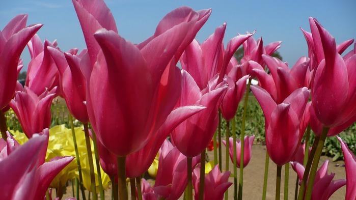 симфония тюльпанов 66788