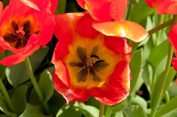симфония тюльпанов 73349