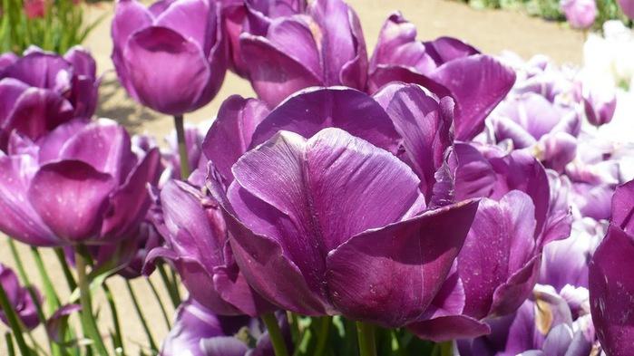 симфония тюльпанов 63555