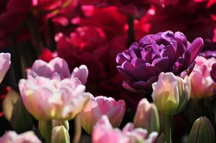 симфония тюльпанов 26658