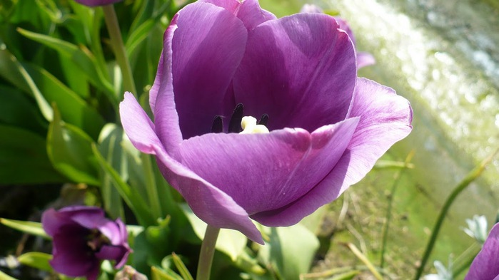 симфония тюльпанов 82446