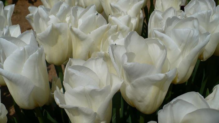 симфония тюльпанов 67253