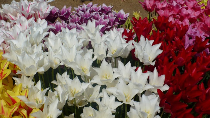 симфония тюльпанов 14500
