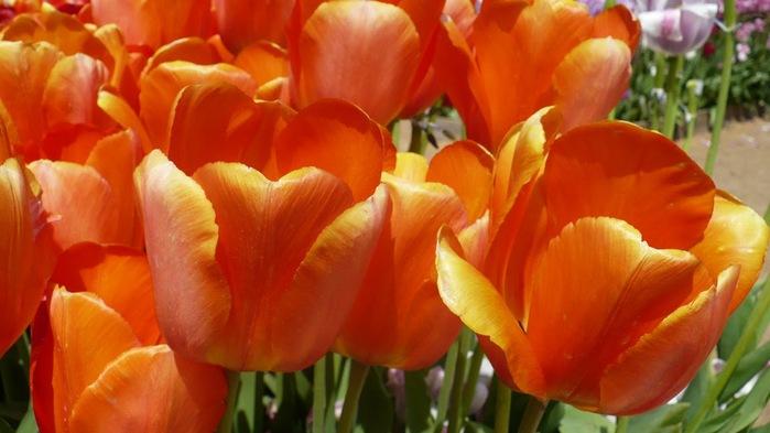 симфония тюльпанов 89966
