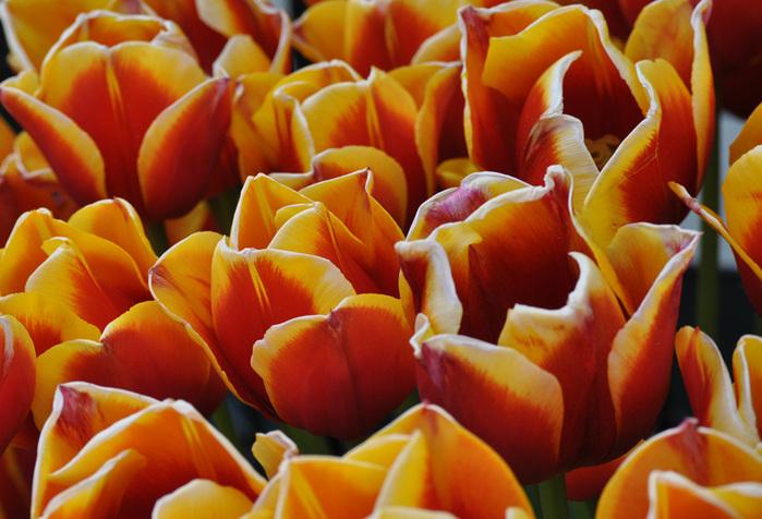 симфония тюльпанов 15740