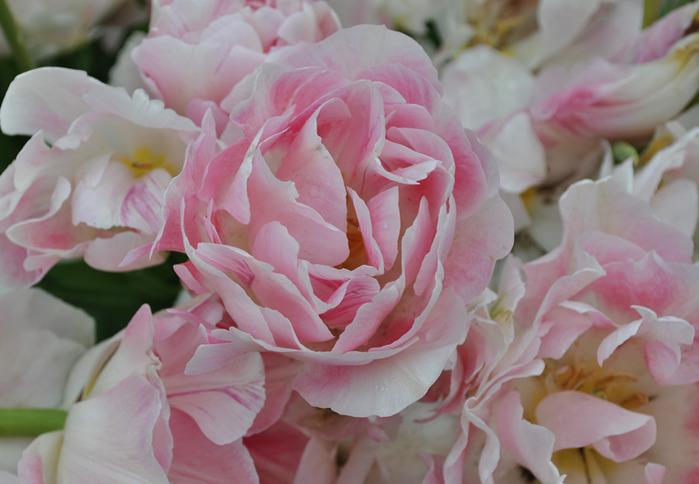 симфония тюльпанов 35059