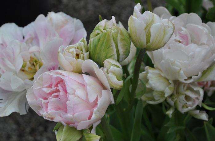 симфония тюльпанов 31056