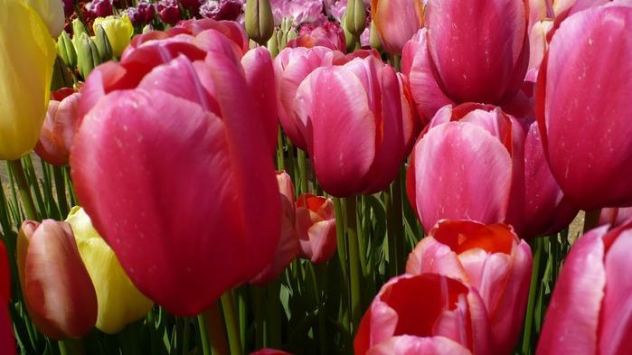 симфония тюльпанов 24048